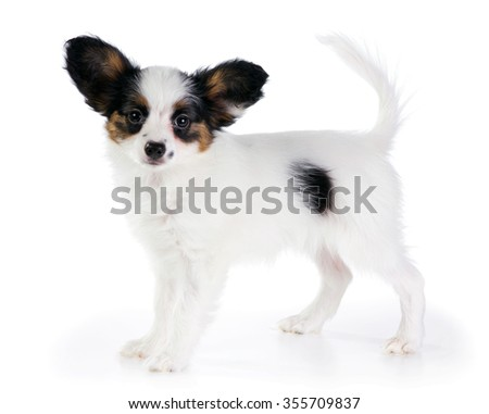 Puppy Papillon on a white background - stock photo