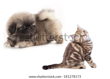 puppy Pekingese  and kitten , cat and dog - stock photo