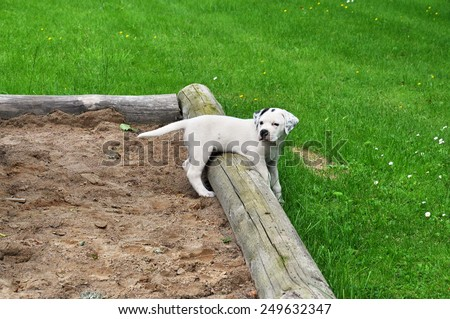 Puppy,  Pit bull terrier - St Bernard, playing in a sand box. - stock photo