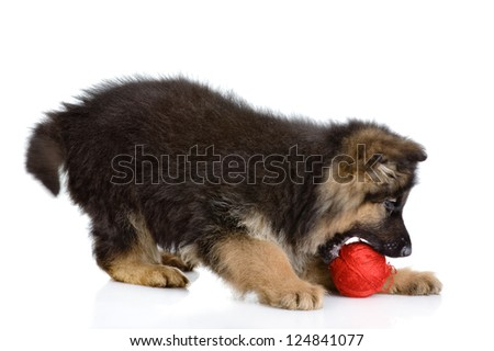 puppy play with a wool ball. isolated on white background - stock photo