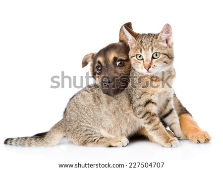 puppy playing with tabby cat. isolated on white background - stock photo