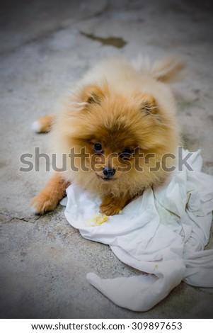 Puppy pomeranian - stock photo