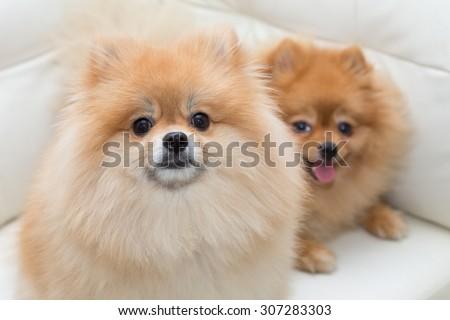 puppy pomeranian dog cute pets sitting on white sofa furniture - stock photo