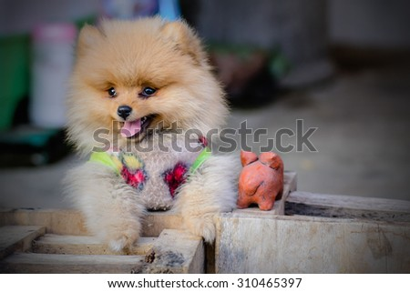 Puppy Pomeranian garb - stock photo
