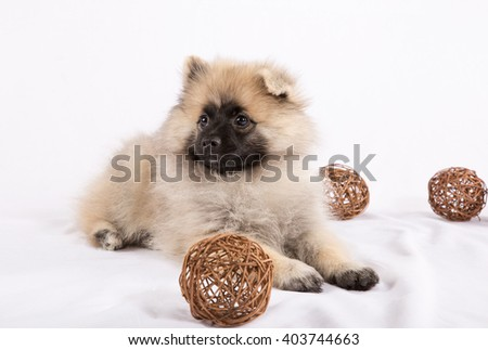 Puppy Pomeranian is lying with balls on a white background - stock photo
