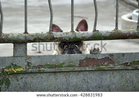 Puppy pug with sad eyes and raised its paw looking through a rusty metal fence. - stock photo