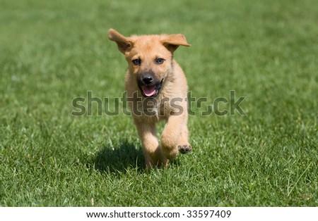 puppy running on a green grass - stock photo