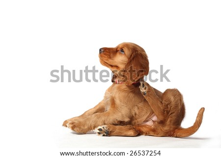 Puppy scratching - stock photo