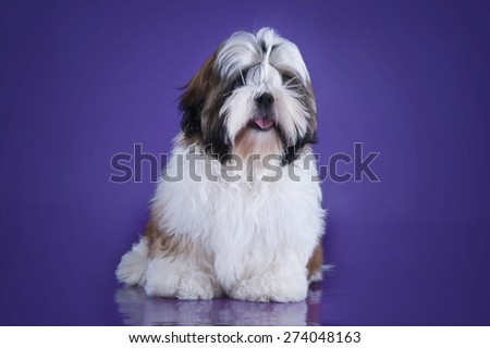 puppy shih tzu isolated on violet background - stock photo