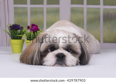 puppy shih tzu resting in a country house - stock photo