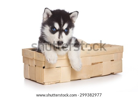puppy Siberian Husky sitting in a box paws hanging out and looking at the camera (isolated on white) - stock photo