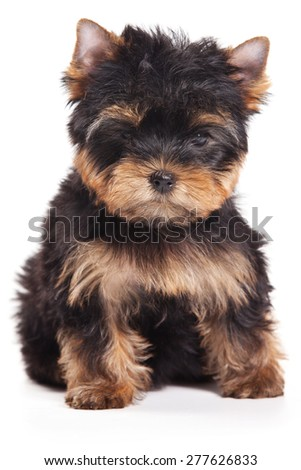 Puppy sitting and looking at the camera (isolated on white) - stock photo