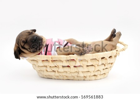 Puppy sleeping in a basket on a white background. - stock photo