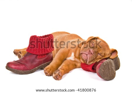 Puppy Sleeping on Boots, Isolated - stock photo
