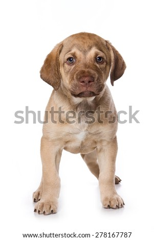 Puppy standing and looking at the camera (isolated on white) - stock photo