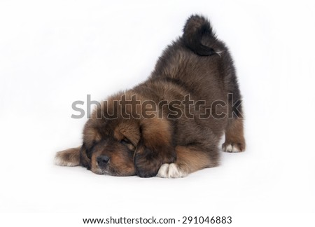 puppy Tibetan Mastiff - stock photo