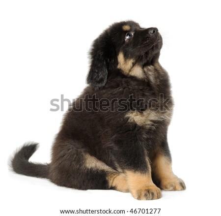 Puppy tibetan mastiff looking up - stock photo