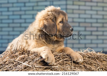 Puppy Tibetan Mastiff lying on a straw on a sunny day - stock photo