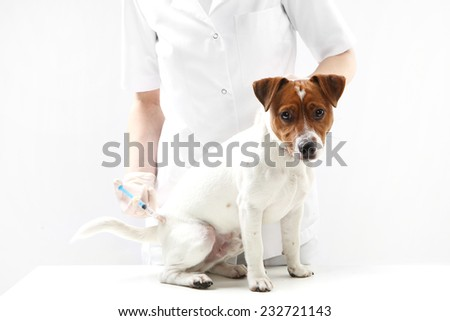 Puppy to the vet, the vaccine Young Jack Russell Terrier dog with a veterinarian for treatment vaccination  - stock photo