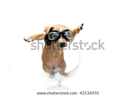 Puppy wearing goggles and black leather jacket is caught inside a glass goblet.  He could have been either looking for his motor cycle or his airplane. - stock photo