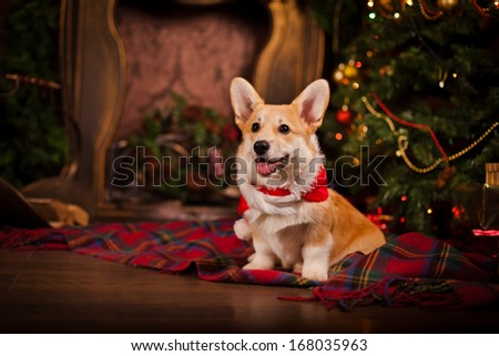 Puppy, Welsh Corgi, christmas - stock photo
