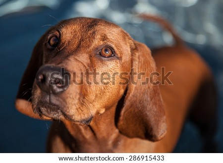 PUPPY with big ears | Shallow focus of a purebred dog, Redbone Coonhound in front of water. - stock photo