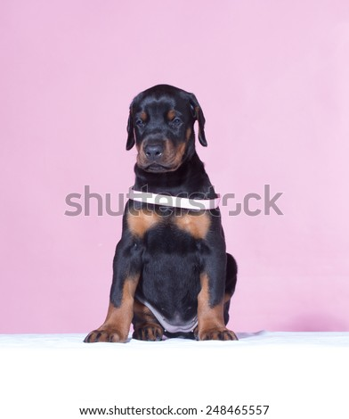 Puppy with pink belt  on pink background - stock photo