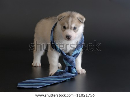 puppy with  tie - stock photo