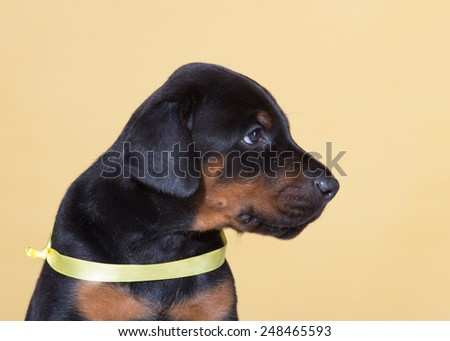 Puppy with yellow belt on yellow background - stock photo
