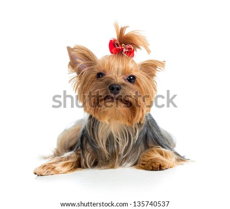 puppy yorkshire terrier isolated on white background - stock photo