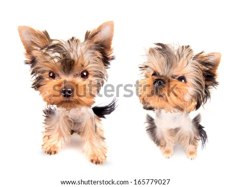 Puppy yorkshire terrier  on the white background - stock photo