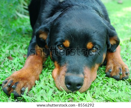 Pure bred rottweiler dog laying down - stock photo
