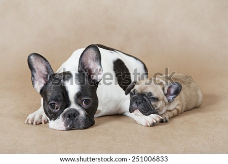 Pure breed French bulldog mommy with puppy lying on a beige background  - stock photo