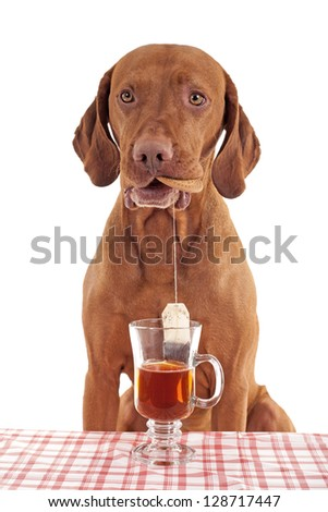 pure breed gold colored vizsla dog dipping tea bag in cup of water while holding a biscuit in mouth on white background - stock photo