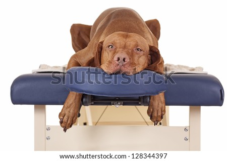 pure breed golden color dog laying relaxed on a massage table isolated on white background - stock photo