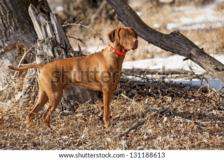 pure breed golden color pointer in field paying maximum attention to search work - stock photo