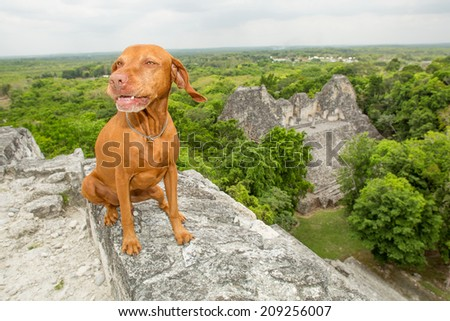 pure breed golden dog sitting on the top of a Mayan pyramid in Mexico with jungle and ruin in the background - stock photo