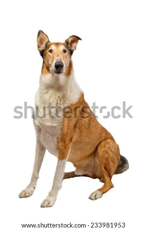 Pure breed golden smooth (short haired) Collie isolated on white - stock photo