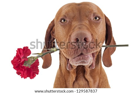 pure breed hunting dog holding a red carnation flower in the mouth isolated on white background - stock photo