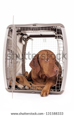 pure breed hunting dog laying in crate isolated on white background - stock photo