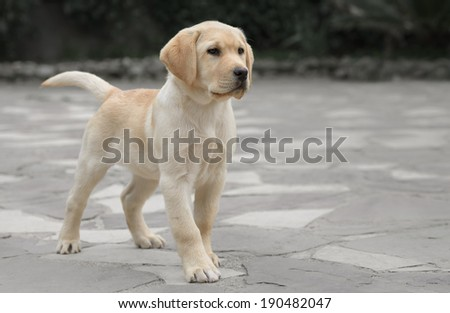 Pure breed male labrador puppy - stock photo