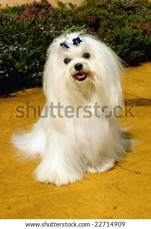 Pure breed maltese dog sitting in a park - stock photo