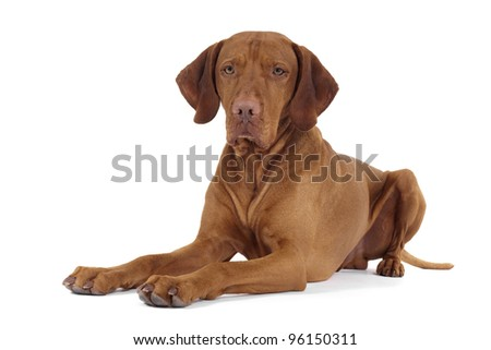 pure breed vizsla dog laying down on white background - stock photo