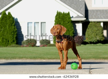 Pure breed Vizsla stand with a ball in the front of American house - stock photo
