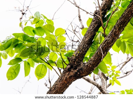 Pure fresh leaves of tree branch in the city park. - stock photo
