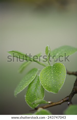 Pure water drops on green leaf with shallow depth of field - stock photo