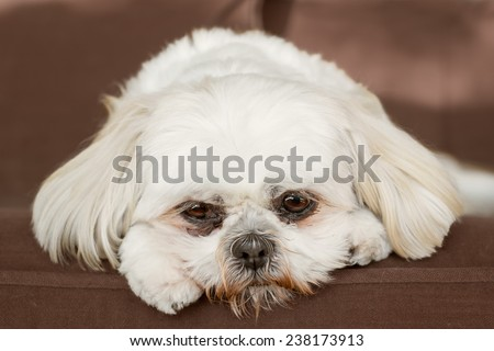 Pure white shih tzu dog on couch looking sad bored lonely sick depressed unwanted unloved ashamed - stock photo