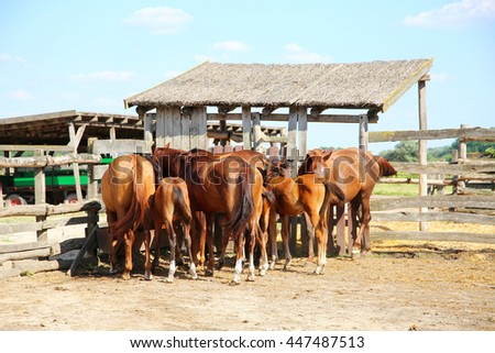 Purebred anglo arabian foals and mares eating hay in the corral summertime outdoor rural scene - stock photo