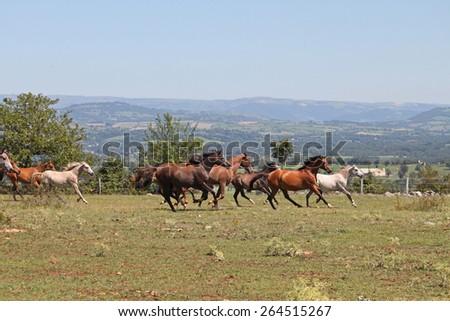 Purebred arabian horses - stock photo