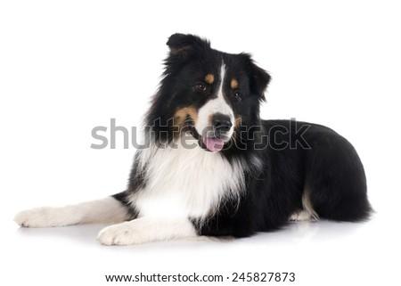 purebred australian shepherd  in front of white background - stock photo